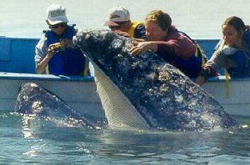 La hibernada de las ballenas grises